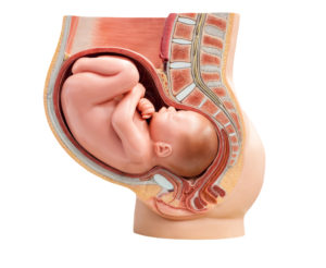 baby in womb educational
