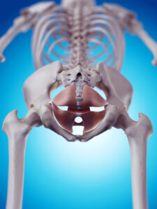 Skeleton_pelvic_floor_muscles